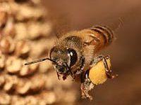 Fotografía de abeja volando.
