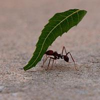Fotografía de hormiga zompopa