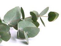 Rama de eucalipto
