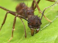 Fotografía de una hormiga zompopa cortando una hoja