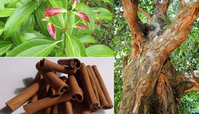 Se muestran tres imágenes. Una tiene varias astillas de canela, otra muestra el tronco de un árbol de canela y la otra muestra las hojas de este árbol.