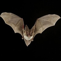 Fotografía de un murciélago volando